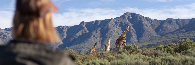 Giraffe Walk 2